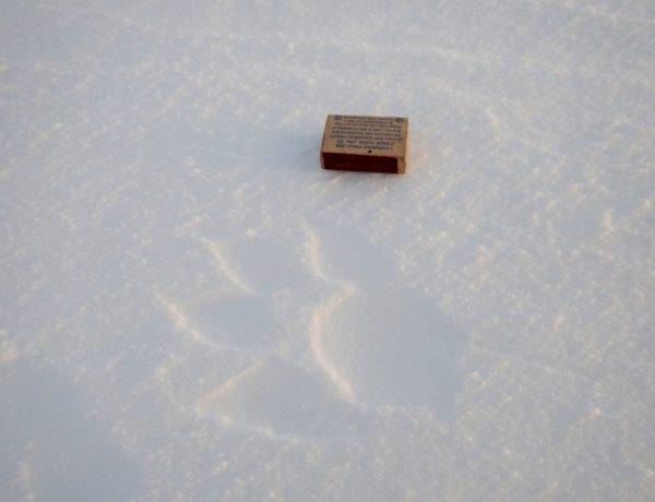 Специально положил коробок для понятия размеров таймырских волков. Охотники рассказывали, что встречаются до 120 килограмм. Овцебык, для справочки, столько же весит.